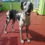 harlequin great dane puppy standing