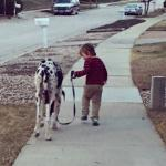 kid walking with a harlequin great dane