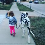 kid walking a harlequin great dane