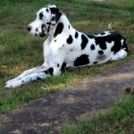 harlequin great dane dog laying on grass