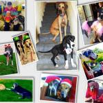collage of great dane pictures