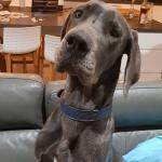Joey-puppy-blue-great-dane