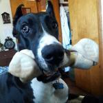 Ali-puppy-brindle