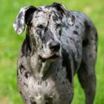 Annabelle-brindle-great-dane-3-years