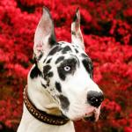 adult harlequin great dane headshot