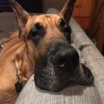 adult fawn great dane with head on the couch
