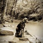 adult mantle great dane sitting on rocks in a creek
