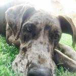 great dane brindle adult head shot