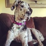 harlequin adult great dane on a couch