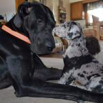 black great dane adult with a harlequin puppy