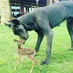 adult blue great dane with a baby dear