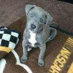 blue great dane puppy sitting