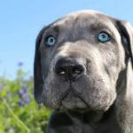 blue great dane puppy head shot