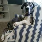 brindle great dane sitting in a chair