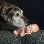 brindle great dane with a baby