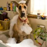 fawn great dane sitting in a sink with bubbles