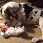 halrequin great dane with a baby