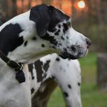 harlequin great dane adult head shot