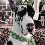 harlequin great dane wearing a green crown