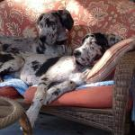 great dane dogs sitting in a chair