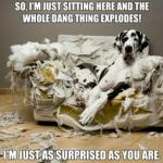 harlequin great dane dog sitting on a ripped up couch