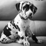 great dane harlequin puppy