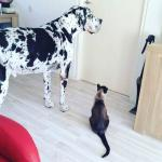 harlequin great dane standing outside a door with a cat