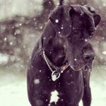 great dane dog with snow falling