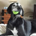 mantle great dane chewing on a ball