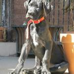 sitting great dane puppy