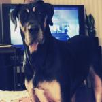 great dane standing in front of tv