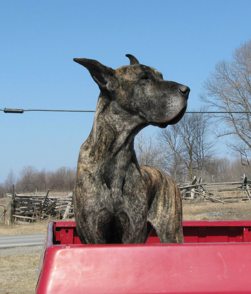 Brindle great dane in back of a truck