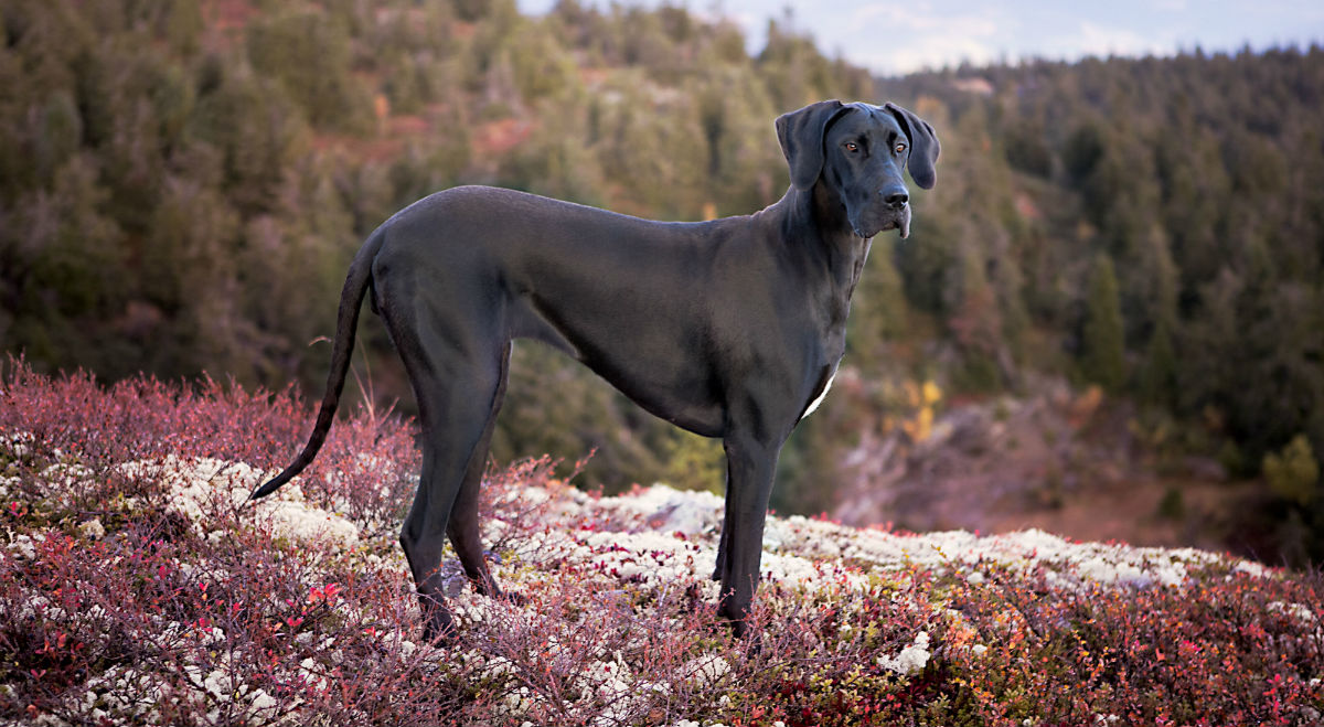 great dane standing on a hill