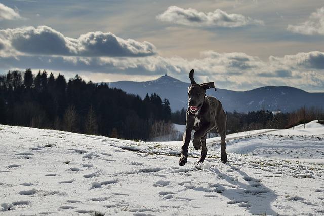 great dane running on snow