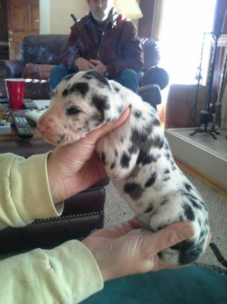 Double Merle Harlequin puppy questions - Great Dane Forums